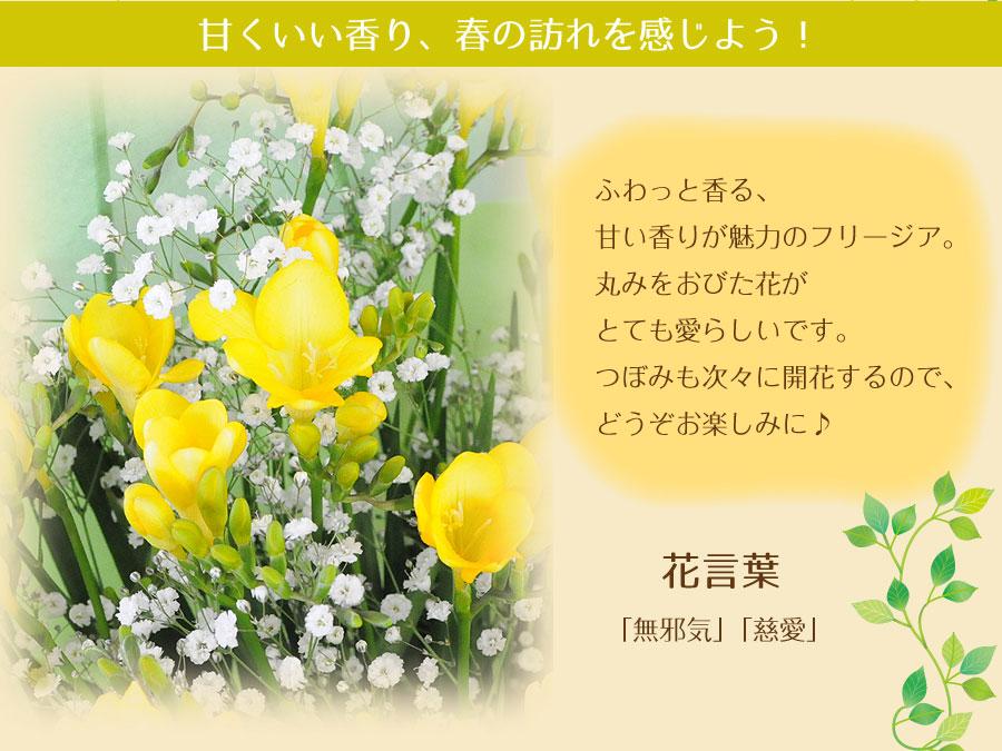 甘くいい香り、春の訪れを感じよう!ふわっと香る、甘い香りが魅力のフリージア。丸みをおびた花がとても愛らしいです。つぼみも次々に開花するので、どうぞお楽しみに♪花言葉「無邪気」「慈愛」。