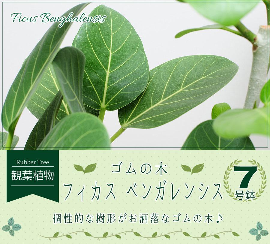 ベンガレンシス 7号鉢 観葉植物 フィカス・ベンガレンシス ゴムの木