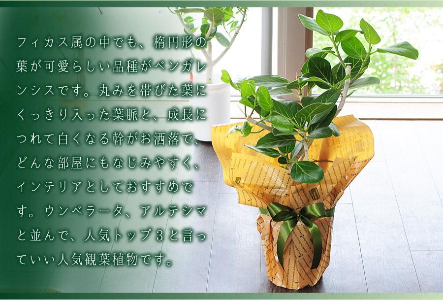 フィカス属の中でも、楕円形の葉が可愛らしい品種がベンガレンシスです。丸みを帯びた葉にくっきり入った葉脈と、成長につれて白くなる幹がお洒落で、どんな部屋にもなじみやすく、インテリアとしておすすめです。