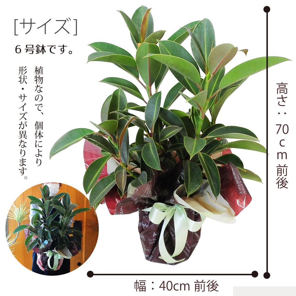 フィカス7号鉢 ゴムの木の仲間 育てやすい おしゃれ インテリア 室内