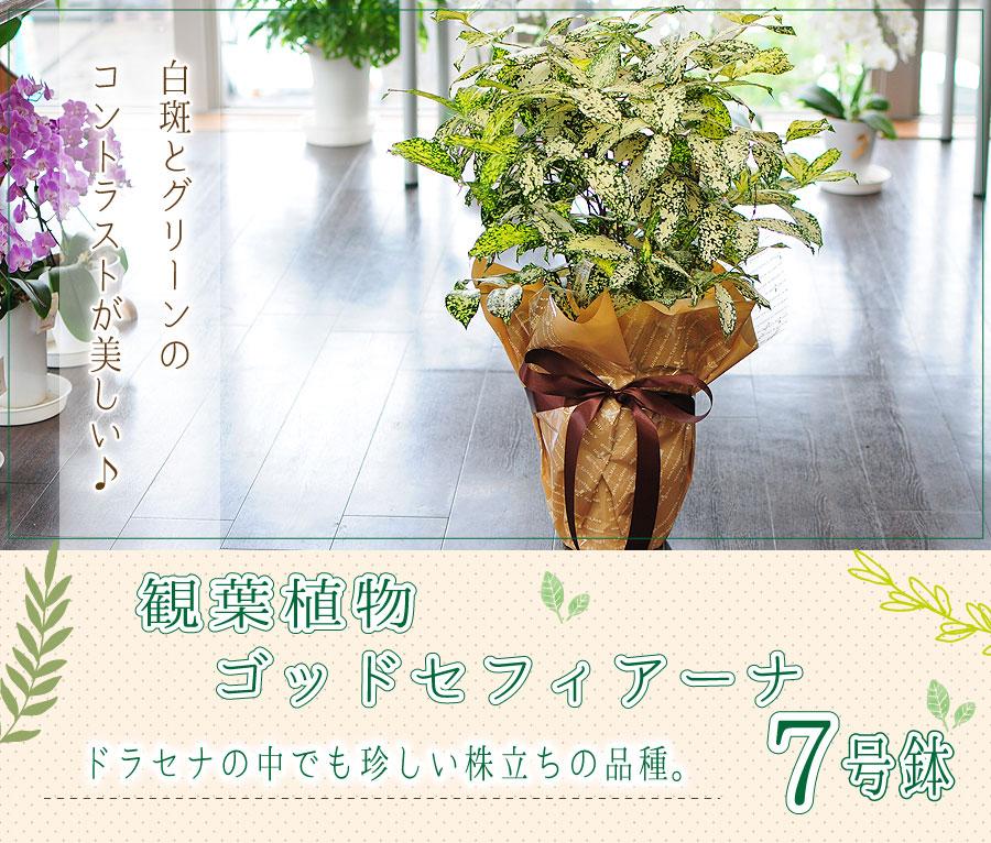 白斑とグリーンのコントラストが美しい観葉植物。ドラセナ ゴッドセフィアーナ 6号鉢 ゴッドセフィアナ フロリダビューティー スルクロサ