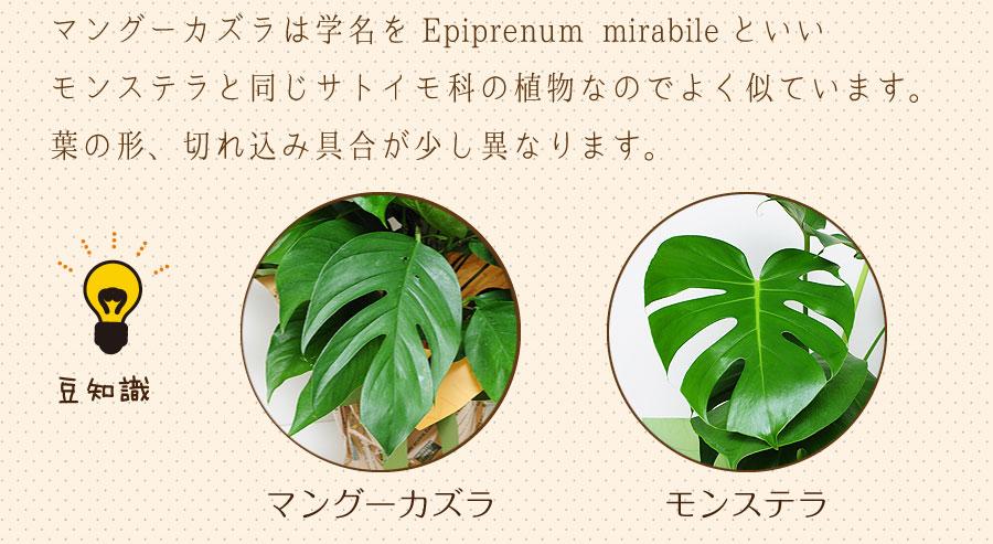 マングーカズラは学名をEpiprenum mirabileといい、モンステラと同じサトイモ科の植物なのでよく似ています。葉の形、切れ込み具合が少し異なります。