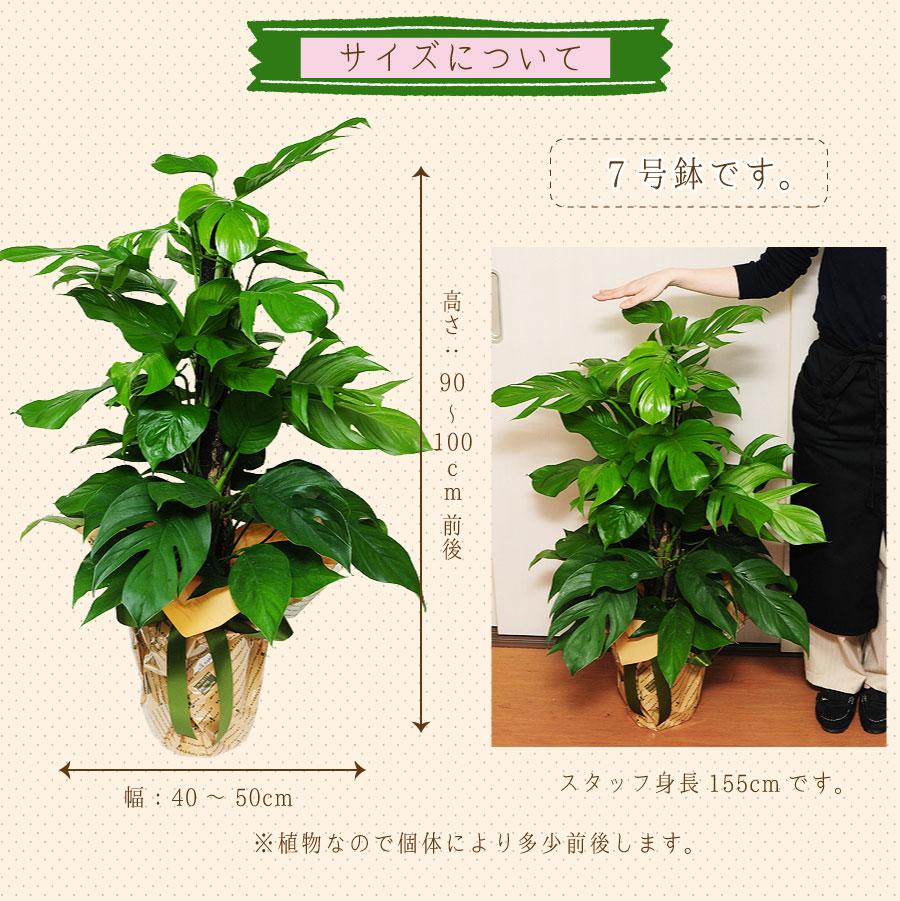 サイズは、高さ:90〜100cm、幅:40〜50cm