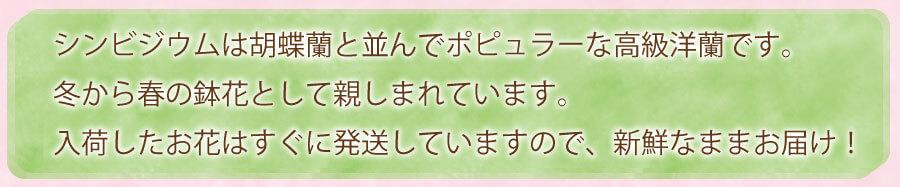 シンビジウムは胡蝶蘭と並んでポピュラーな高級洋蘭です。冬から春の鉢花として親しまれています。入荷したお花はすぐに発送してしまいますので、新鮮なままお届け!
