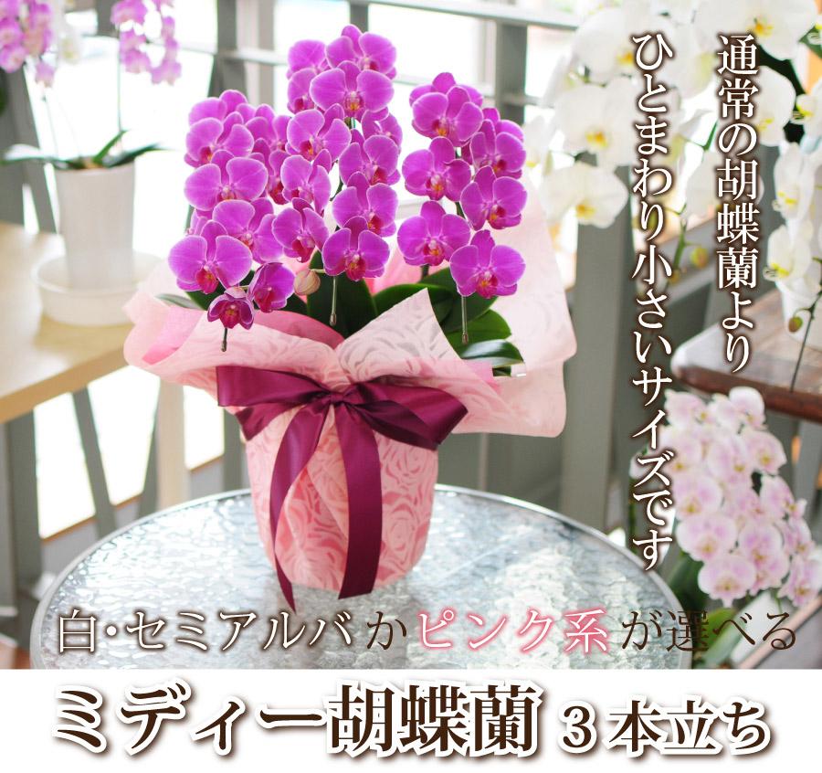お値打ち品 白かピンク系から選べるミディー胡蝶蘭 3本立ち 送料無料