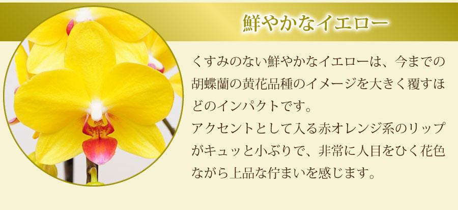 くすみのない鮮やかなイエローは、今までの胡蝶蘭の黄花品種のイメージを大きく覆すほどのインパクトです。