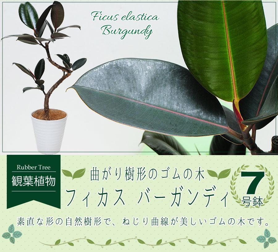 フィカス バーガンディ ねじり 鉢直径18cm 観葉植物 曲がり樹形 陶器鉢