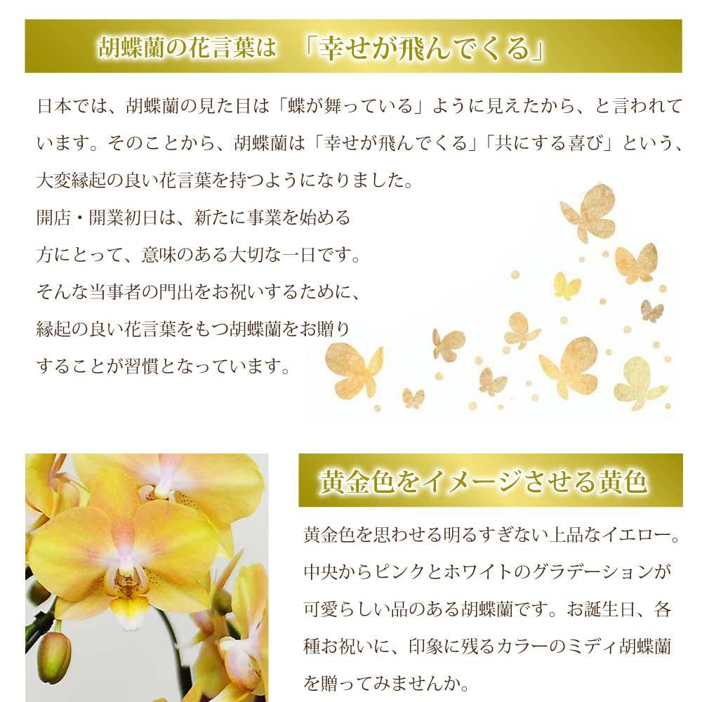 ミディ胡蝶蘭 ゴールデンマンボ 3本立 花持ちが良い