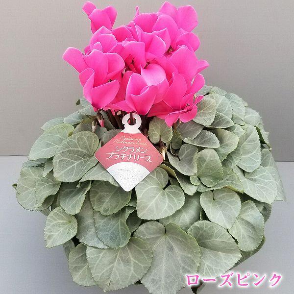 シクラメン プラチナリーフ 5号鉢 ローズピンク