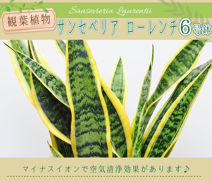 サンスベリア ローレンチ 観葉植物 マイナスイオンで空気清浄効果があります♪