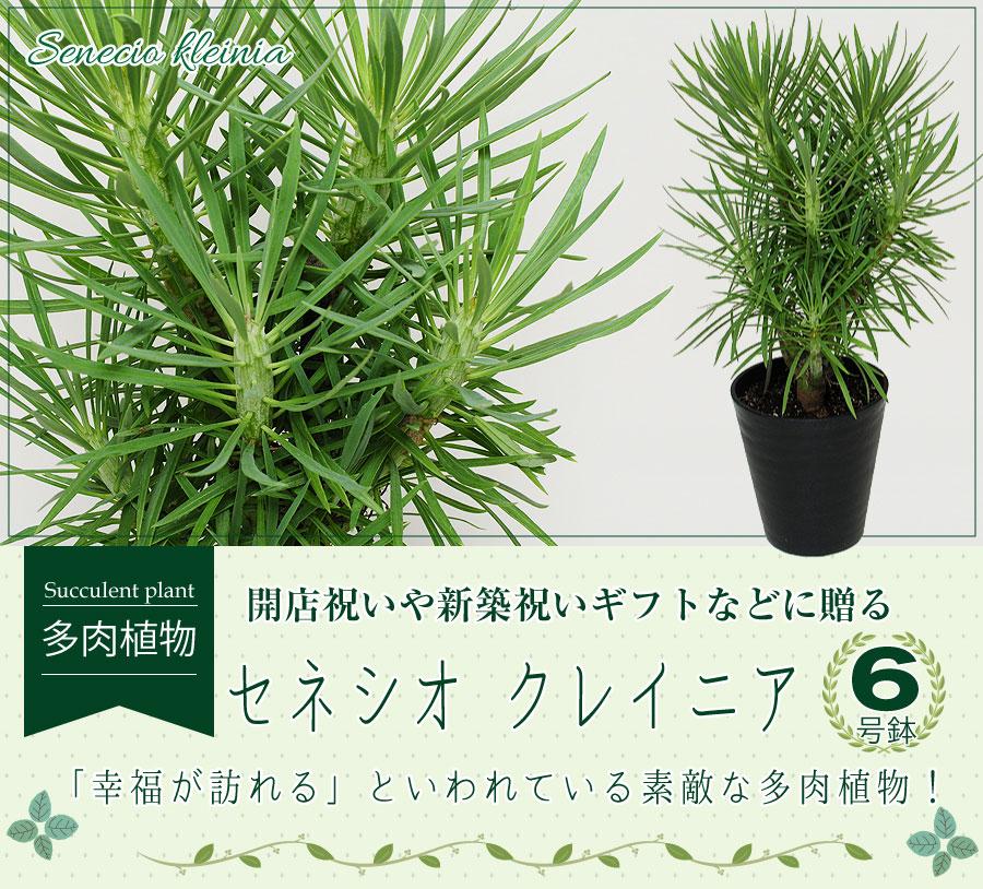 モンキーツリー セネシオ クレイニア 6号鉢 産地直送 多肉植物 観葉植物