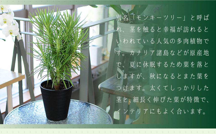 セネシオ・クレイニアは、別名「モンキーツリー」と呼ばれ、茎を触ると幸福が訪れるといわれている人気の多肉植物です。
