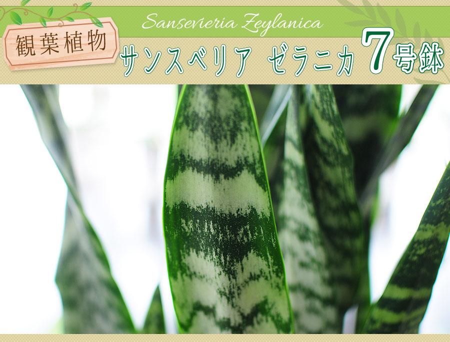 サンセベリア ゼラニカ 7号鉢 観葉植物 サンスベリア サンセデリア