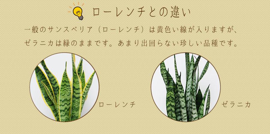 一般のサンスベリア(ローレンチ)は黄色い線が入りますが、ゼラニカは緑のままです。