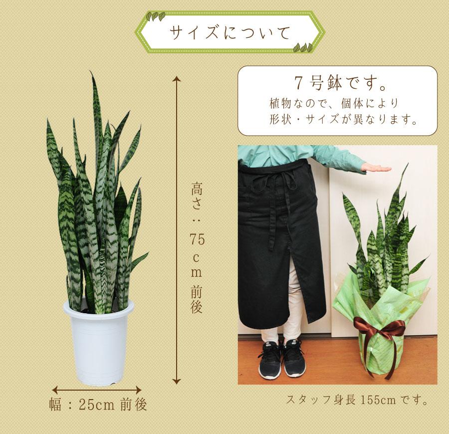 サイズは、高さ:75cm×幅:25cm前後