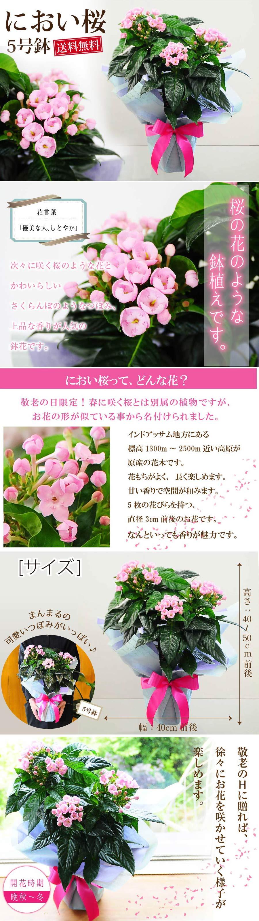 【敬老の日】におい桜。桜の花のような鉢植えです。