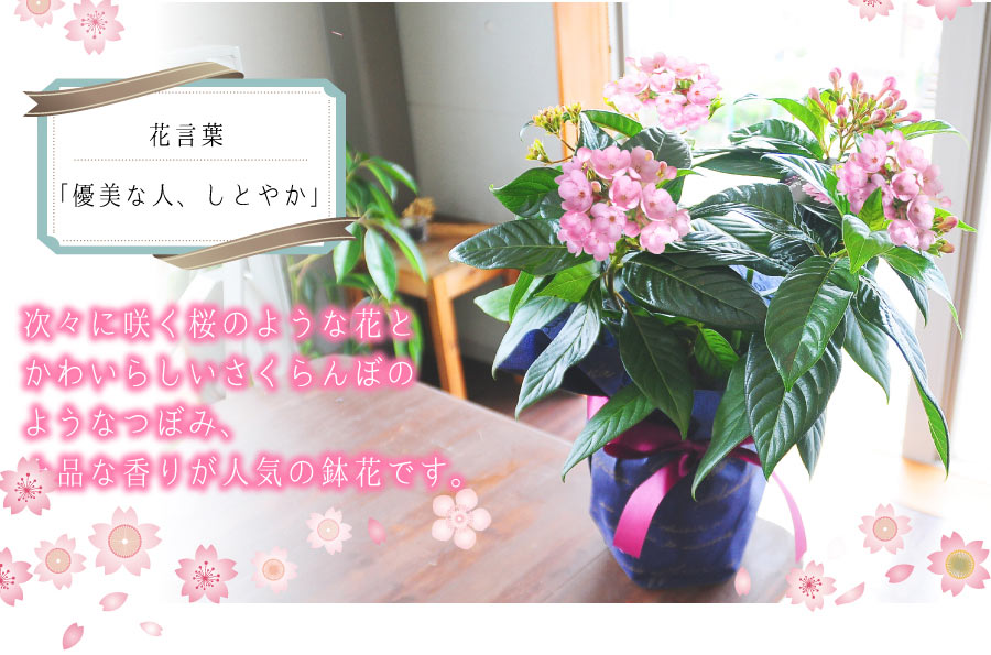 次々に咲く桜のような花と可愛らしいさくらんぼのようなつぼみ、上品な香りが人気の鉢花です。