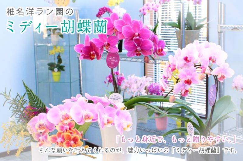 椎名洋ラン園のミディー胡蝶蘭「もっと身近で、もっと贈りやすい」そんな願いをかなえてくれるのが、魅力いっぱいの「ミディー胡蝶蘭」です。