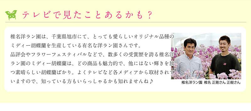 テレビでみたことあるかも?椎名洋ラン園は、とっても可愛らしいオリジナル品種のミディー胡蝶蘭を生産している有名な洋ラン園さんです。