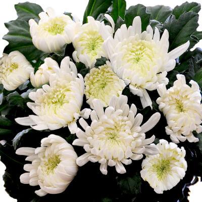 白菊の切り花 20本セット