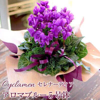 シクラメン セレナーディア アロマブルー 5号鉢