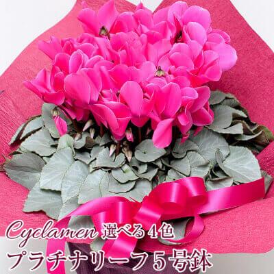 シクラメン プラチナリーフ 5号鉢 全4色 長谷川園芸さん(茨城)のオリジナル品種