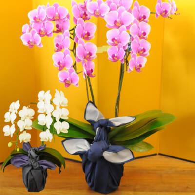 ミディ胡蝶蘭 2本立 4号鉢 白 風呂敷ラッピング