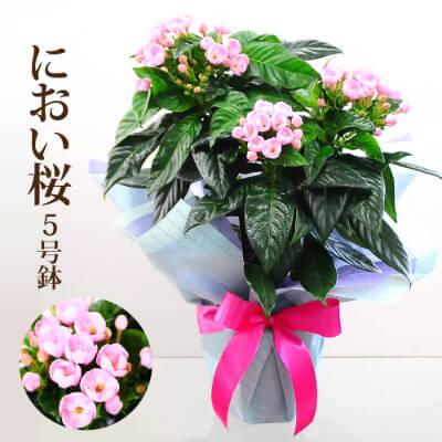 におい桜の鉢花 5号鉢