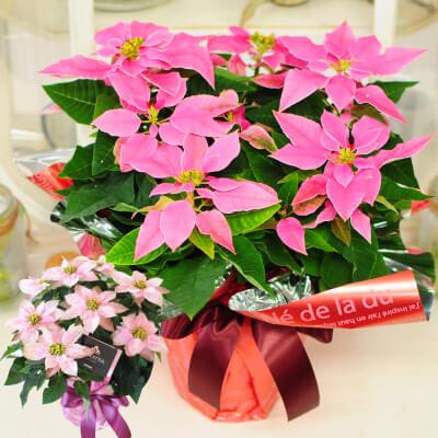 プリンセチア 5号鉢 ピンク系