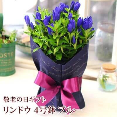 リンドウの鉢花 4号鉢 ブルー系