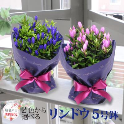 リンドウの鉢花 5号鉢