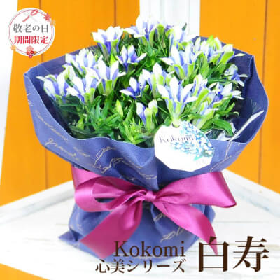 リンドウの鉢花 5号鉢 Kokomi 白寿